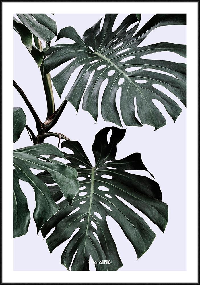 Image of   Monstera plante billede