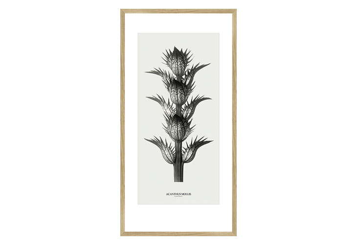 Image of   Acanthus Mollis plante billede