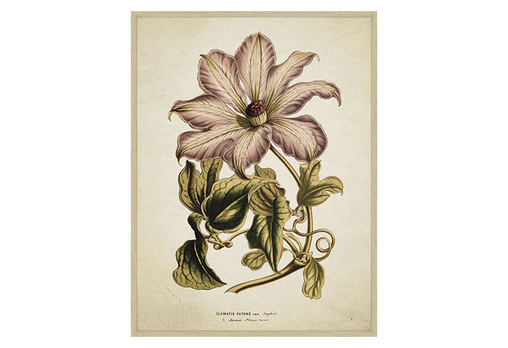 Image of   Clematis plakat